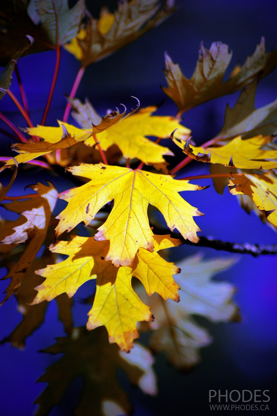 Yellow maple leaves, Montreal