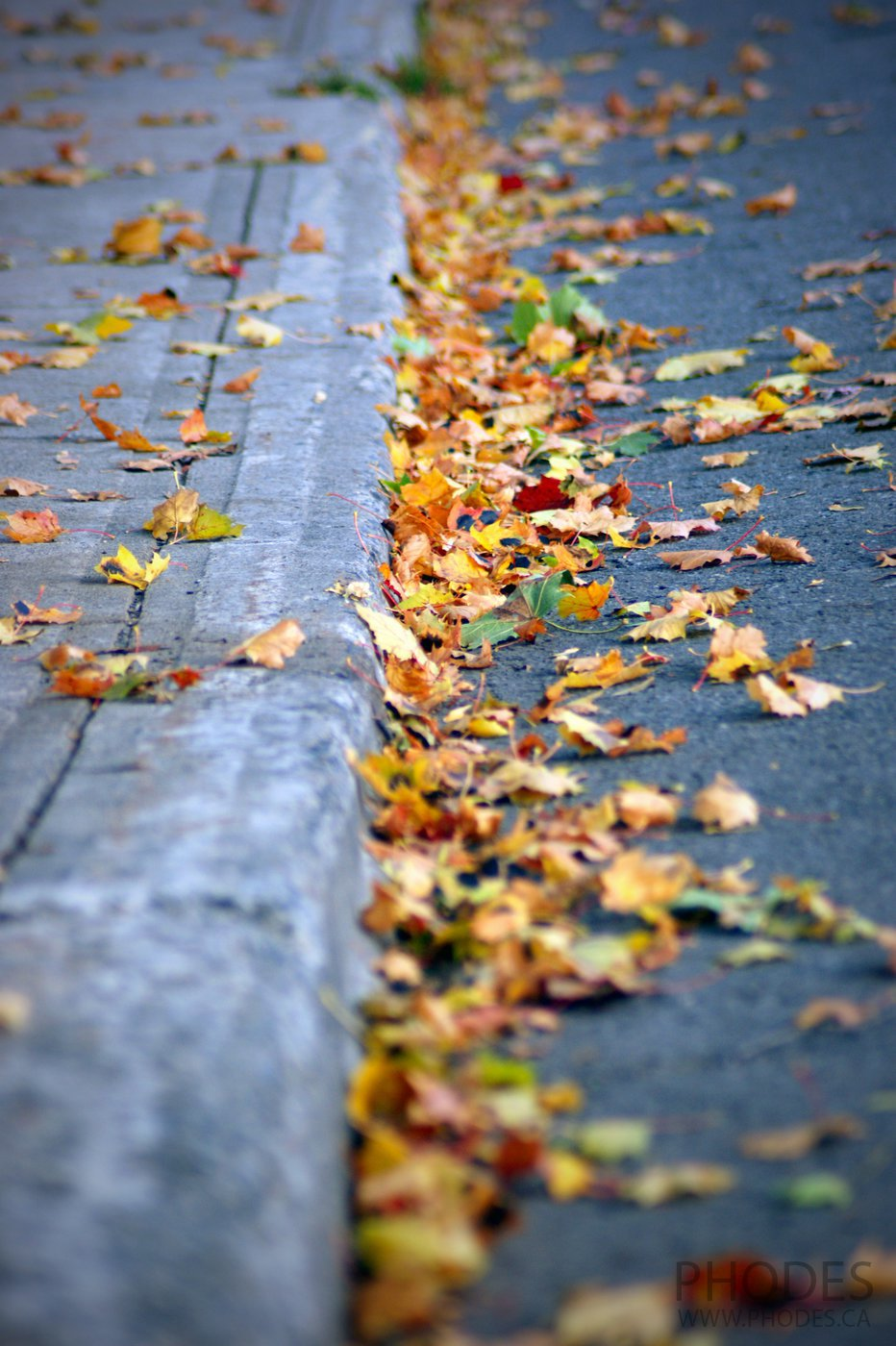 Maple leaves on the street, Montreal